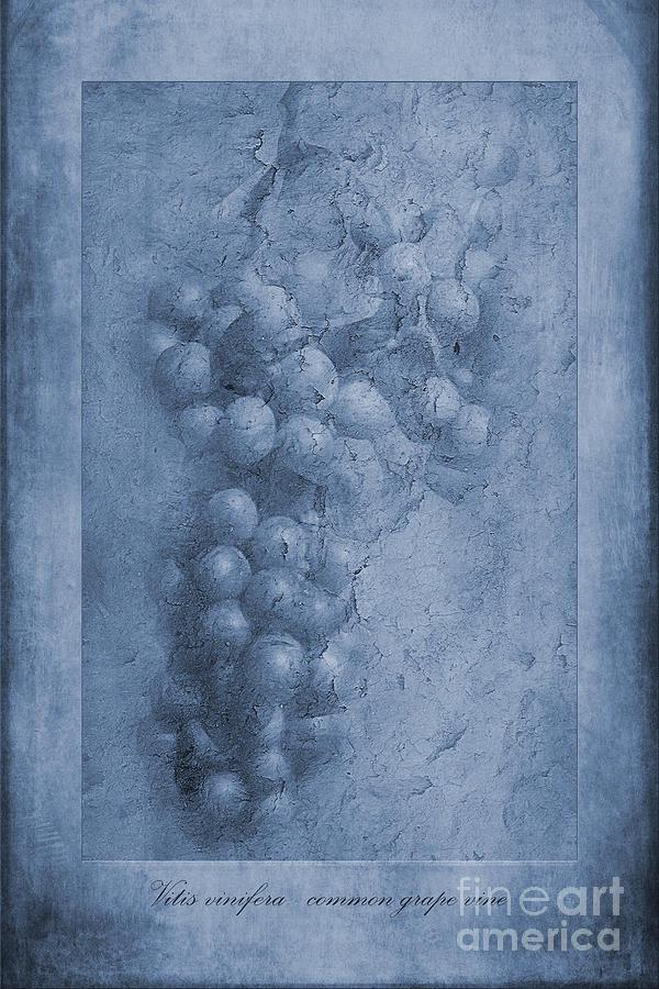 Vitis Vinifera Photograph - Vitis Cyanotype by John Edwards