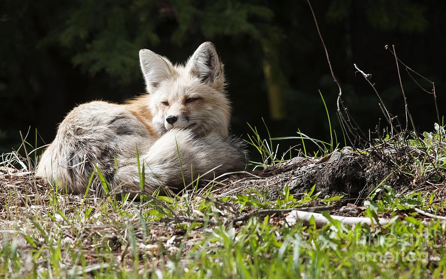 Nature Photograph - Vixen At Silvergate by Bob Dowling