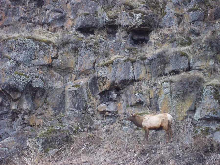 Volcanic Formation And Elk Photograph by Angela Stout