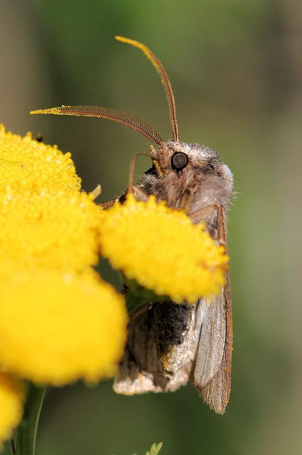 Animal Photograph - Voluble Dart Moth by Doris Potter