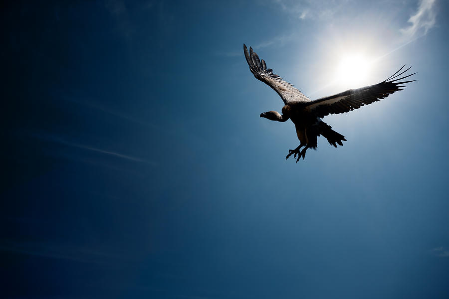 Vulture Photograph - Vulture Flying In Front Of The Sun by Johan Swanepoel