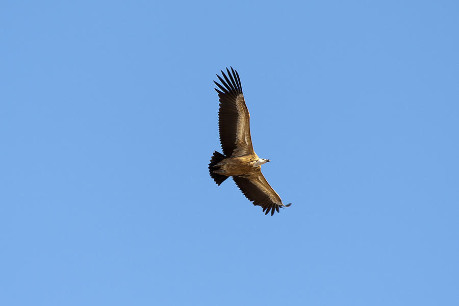 Gyps Photograph - Vulture by Goyo Ambrosio