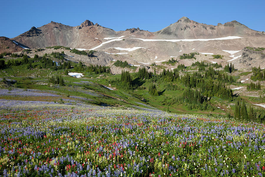 Alpine Photograph - Wa, Goat Rocks Wilderness, Wildflower by Jamie and Judy Wild