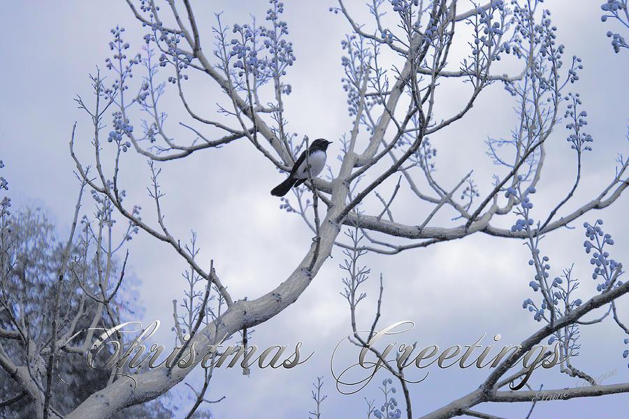 Wagtail Photograph - Wagtail by Elaine Teague