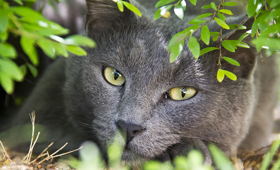 Russian Blue Photograph - Waiting And Watching by Debbie Cundy