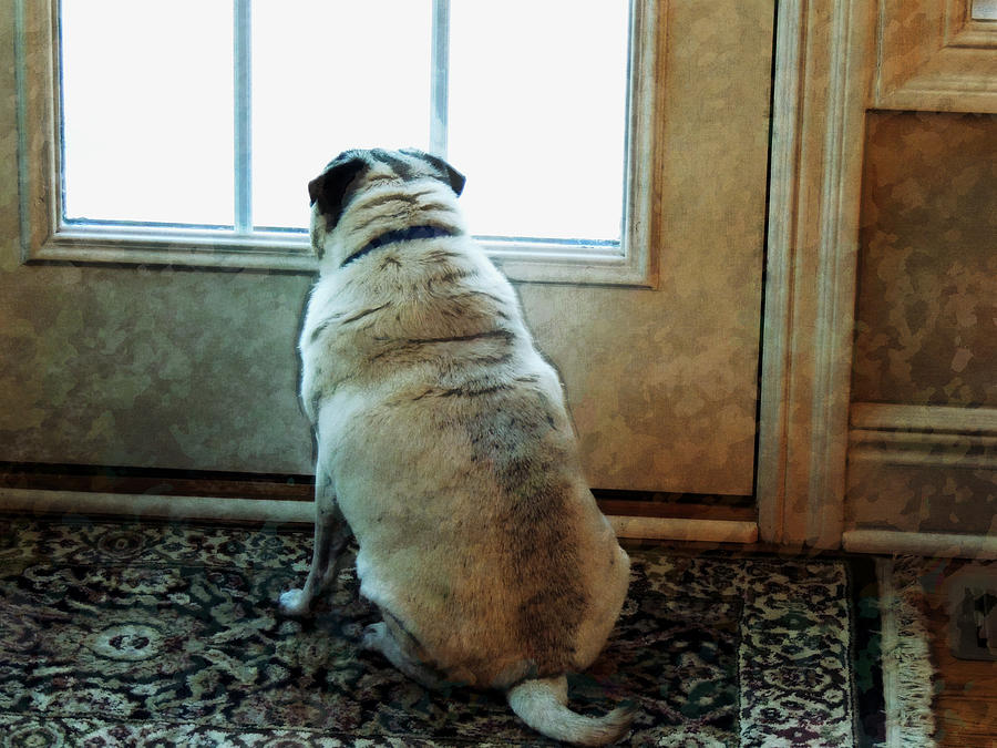 Pug Photograph - Waiting... by Michael Stowers