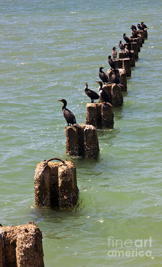 Cormorants Photograph - Waiting For Lunch To Arrive At The Sushi Bar by Anthony Morgan