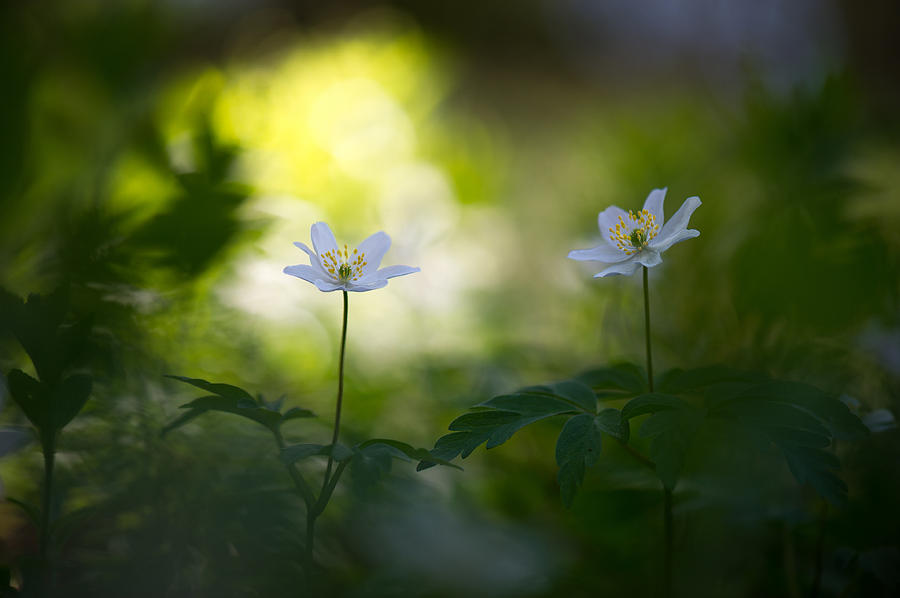 Wood Anemone Photograph - Waiting For The Light by Sarah-fiona  Helme