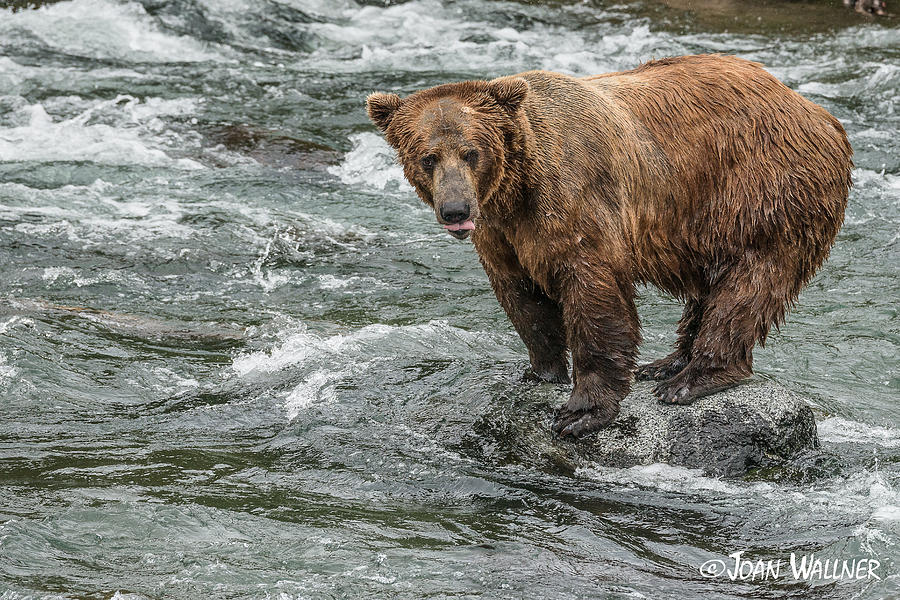 Alaska Photograph - Waiting for the Right Moment by Joan Wallner