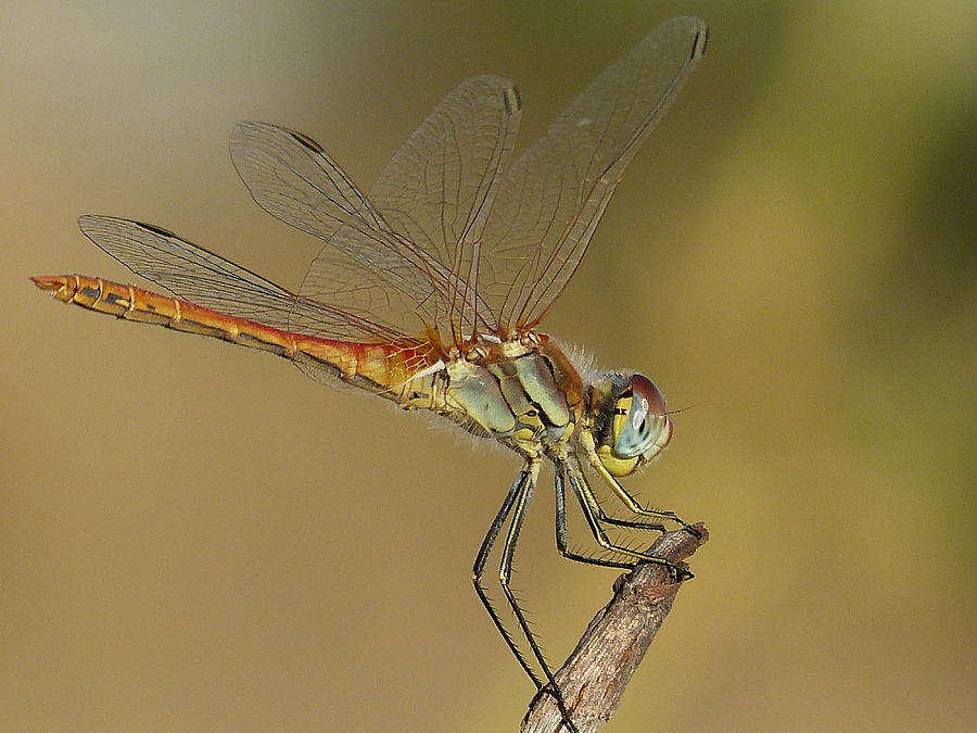Insects Photograph - Waiting  by Janina  Suuronen
