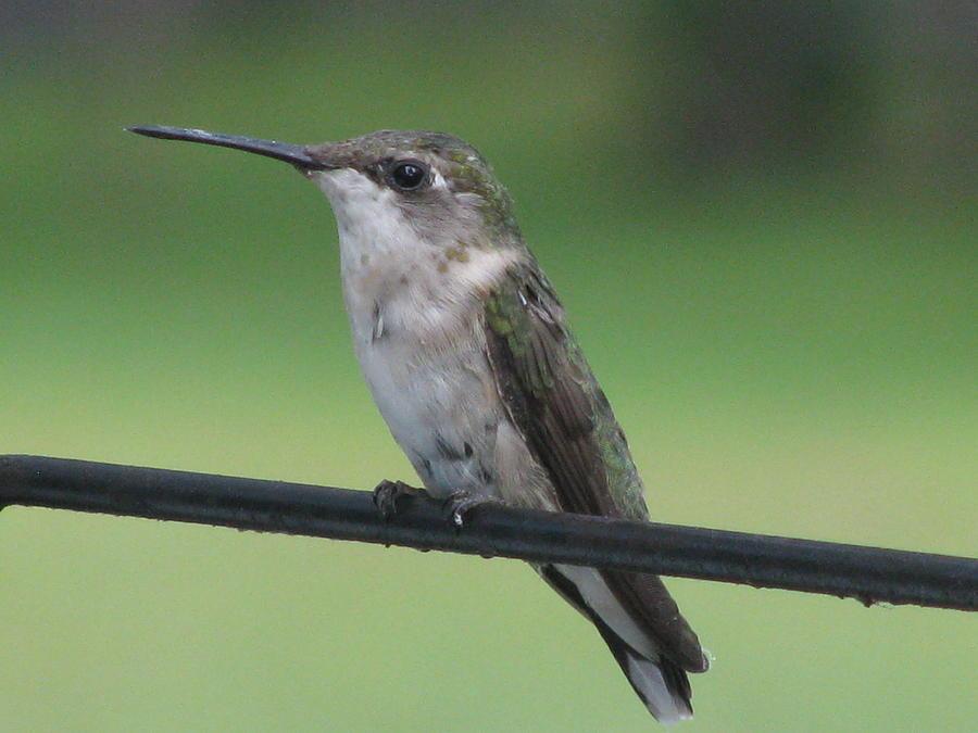 Hummingbird Photograph - Waiting My Turn by Selma Glunn