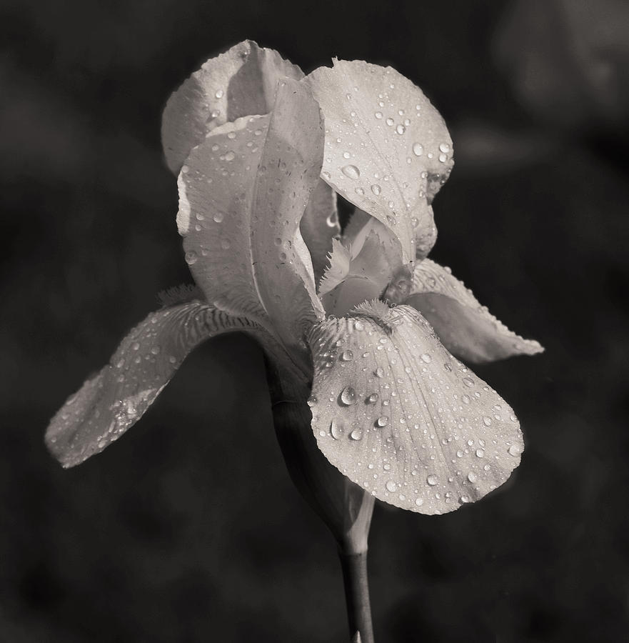 Iris Photograph - Waiting On The Iris by Mamie Thornbrue