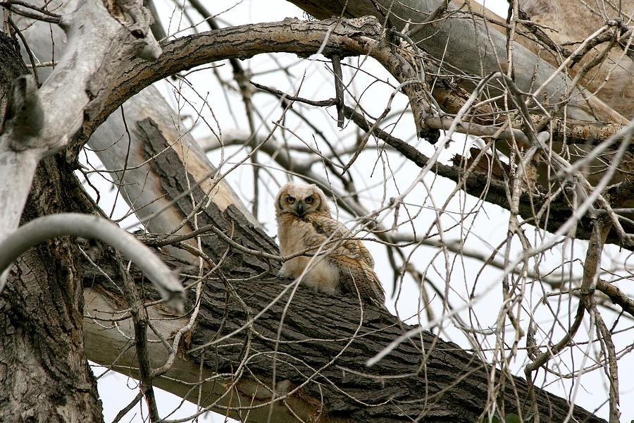 Owls Photograph - Waiting Owlet by Rebecca Adams