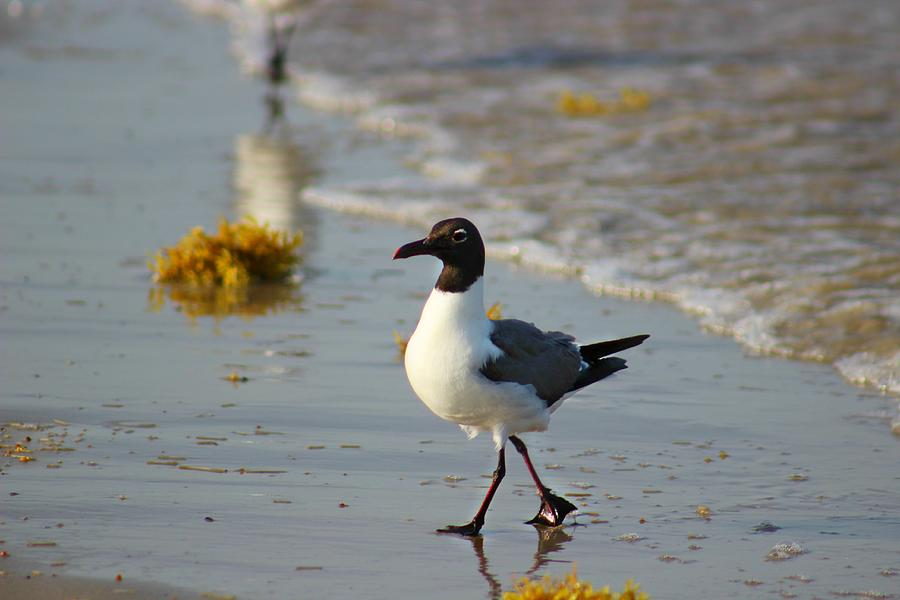 Laughing Gull Photograph - Walk On The Beach by Candice Trimble