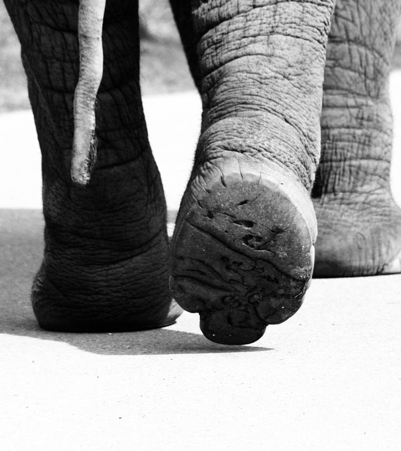 Elephant Photograph - Walk The Wild  by The Artist Project