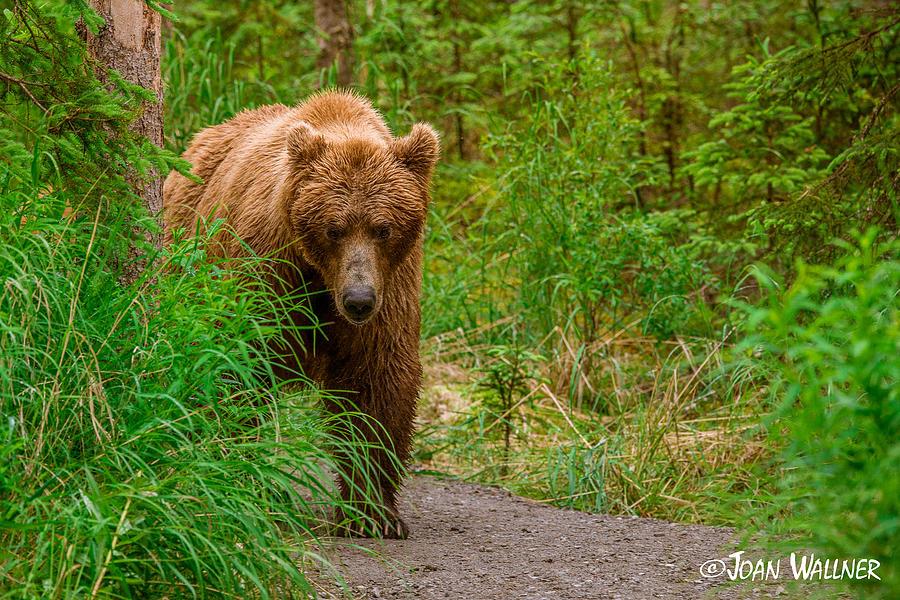 Alaska Photograph - Walking down the path by Joan Wallner