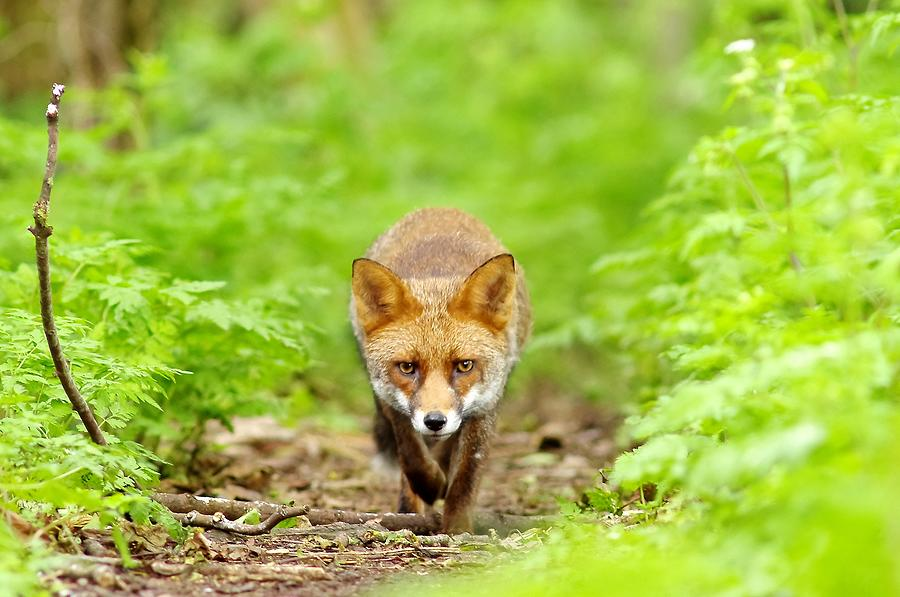 Walking Fox Photograph by Gary Chalker