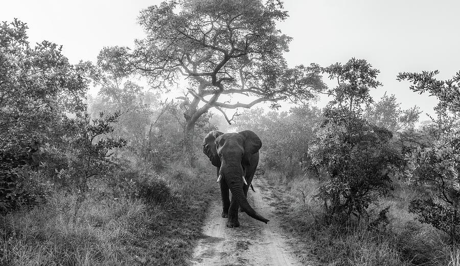Elephant Photograph - Walking Giant by Jaco Marx