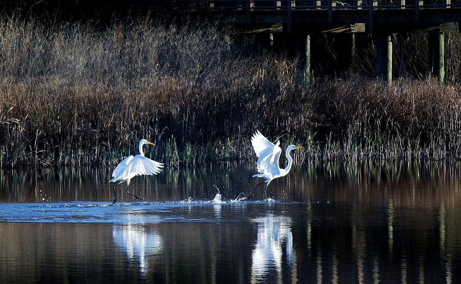Great White Egret Photograph - Walking On Water by Paulette Thomas