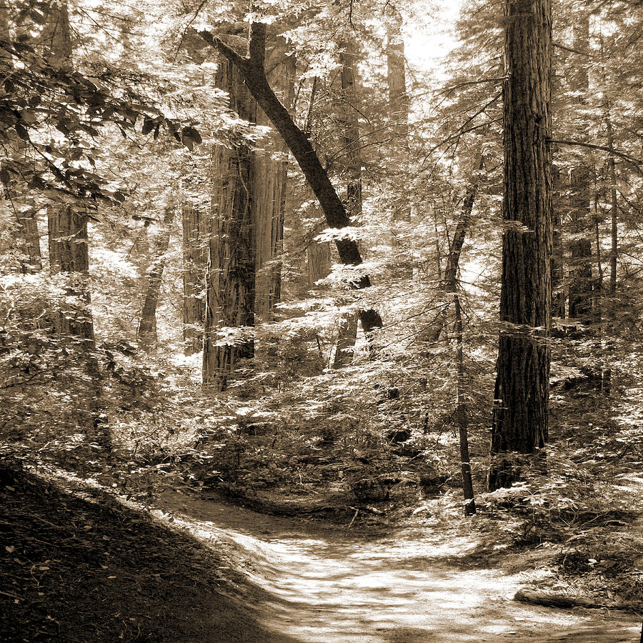 Redwoods Photograph - Walking Through The Redwoods by Mike McGlothlen