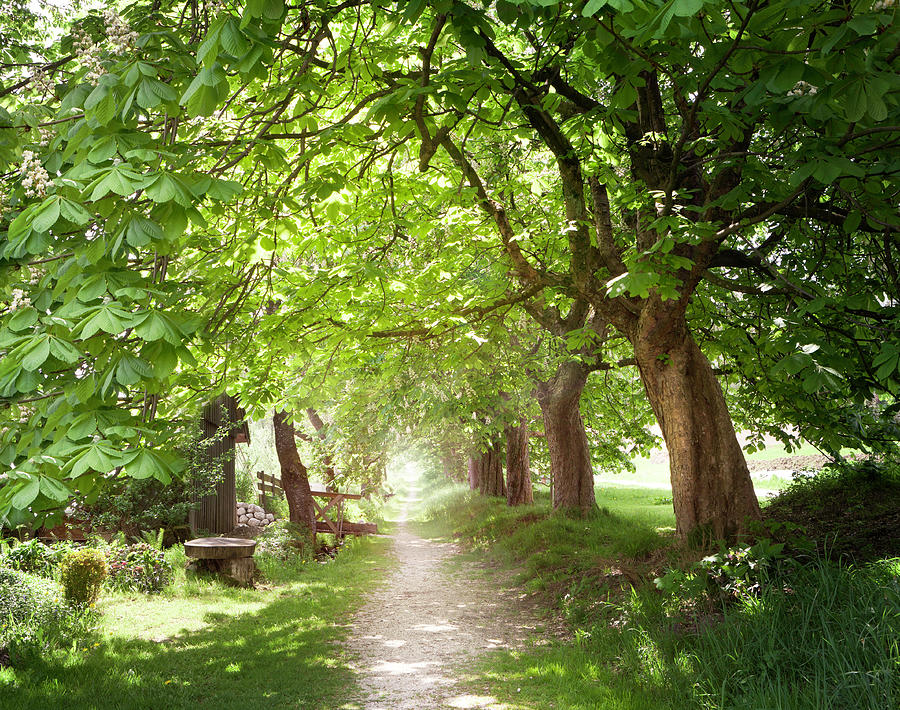 Walking Under Chestnut Trees In Photograph by Lorenzo104