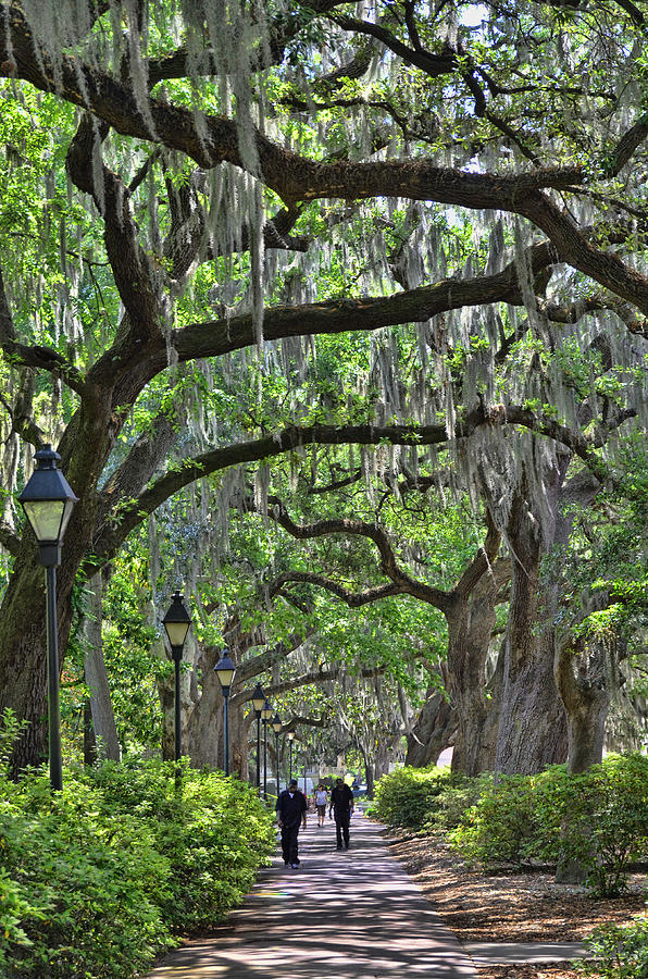 Walking Under The Oaks Photograph