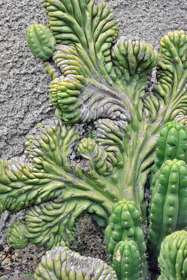 Cactus Photograph - Wall Cactus by Misty Stach