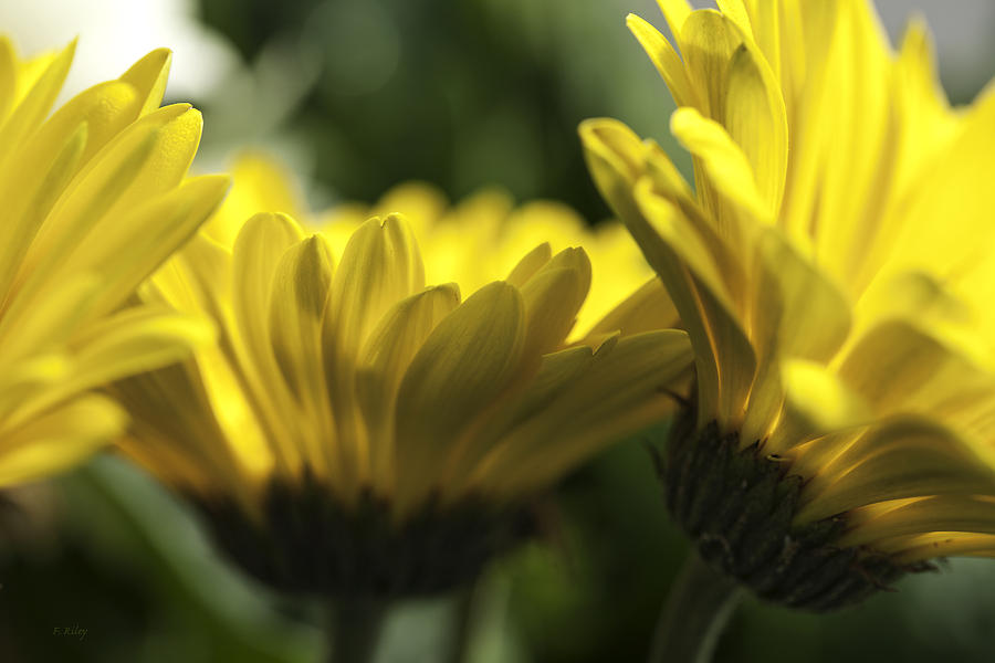 Daisy Photograph - Wall Flowers by Fran Riley