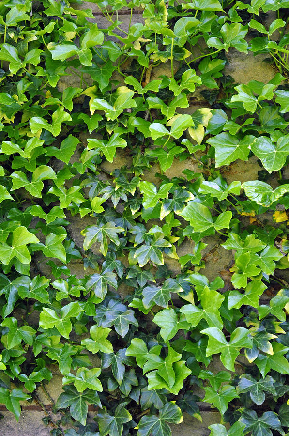 Wall Photograph - Wall Of Ivy by Tikvahs Hope
