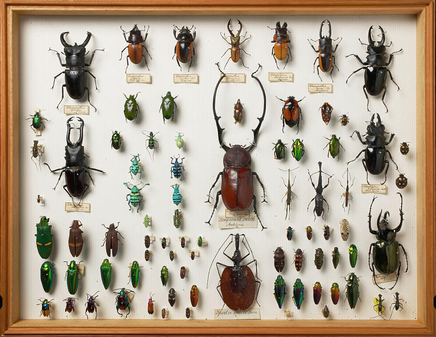 Wallace Collection Photograph - Wallace Collection Beetle Specimens by Natural History Museum, London/science Photo Library