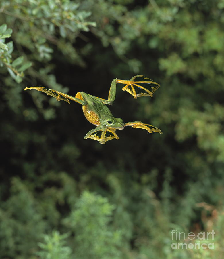 Animal Photograph - Wallaces Flying Frog by Stephen Dalton