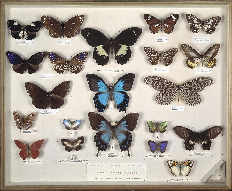 Arthropod Photograph - Wallaces Malay Butterflies, 19th by Science Photo Library