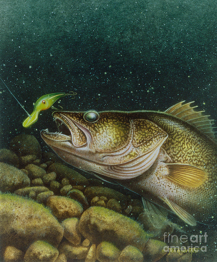 Jon Q Wright Painting - Walleye And Crank Bait by Jon Q Wright