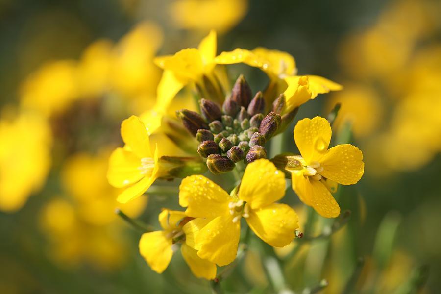 Erysimum Photograph - Wallflowers by Mark Severn