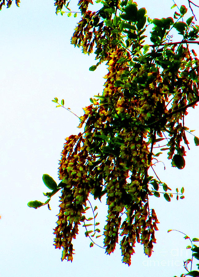 Walnut Photograph - Walnut Blooms by Tina M Wenger