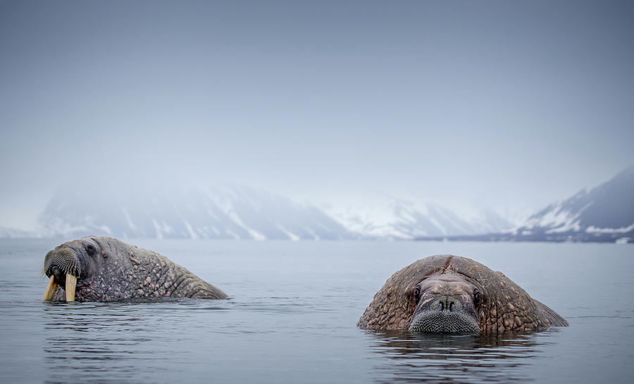 Walrus In Natural Arctic Habitat Photograph by Mikeuk