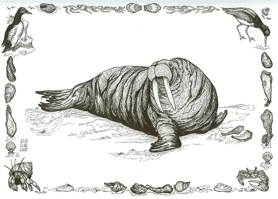 Walrus Drawing by Rita Welegala