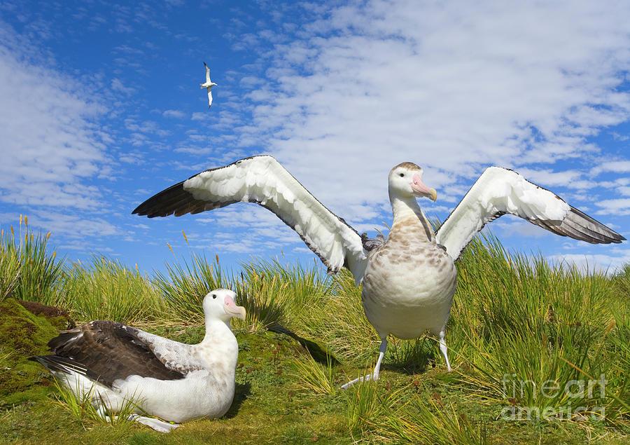 Wandering Albatross Courting  Photograph by Yva Momatiuk John Eastcott