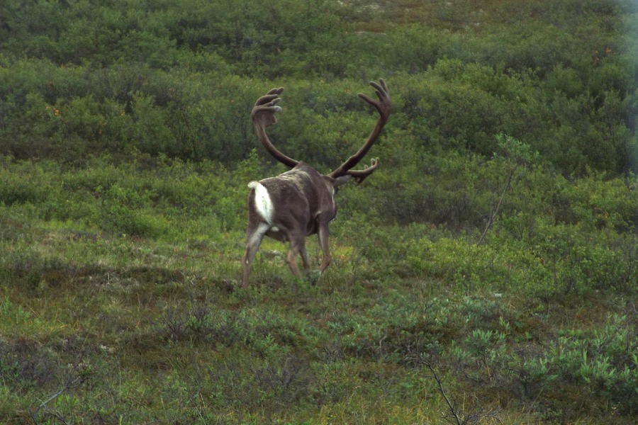 Caribou Photograph - Wandering Caribou by Barbara Von Pagel