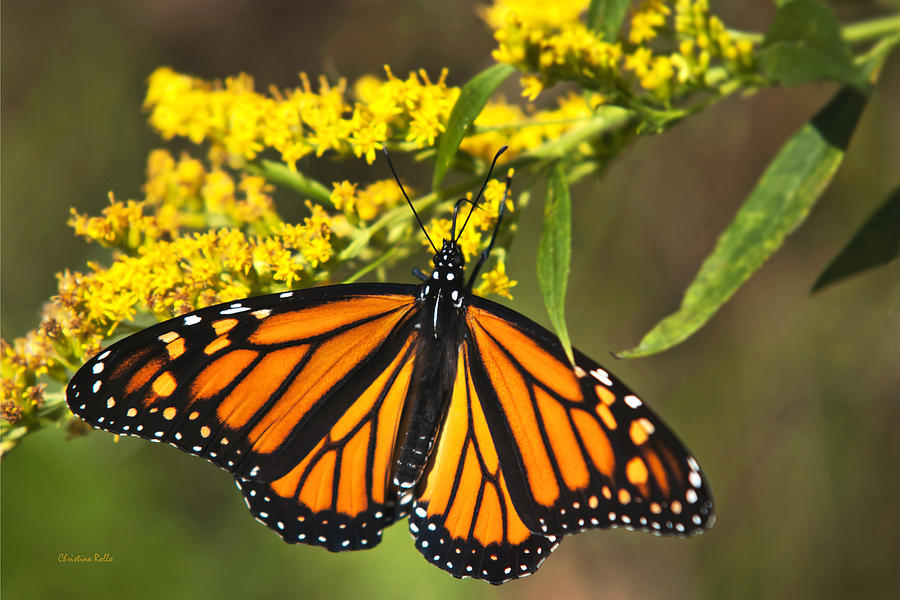 Monarch Butterfly Photograph - Wandering Migrant Butterfly by Christina Rollo