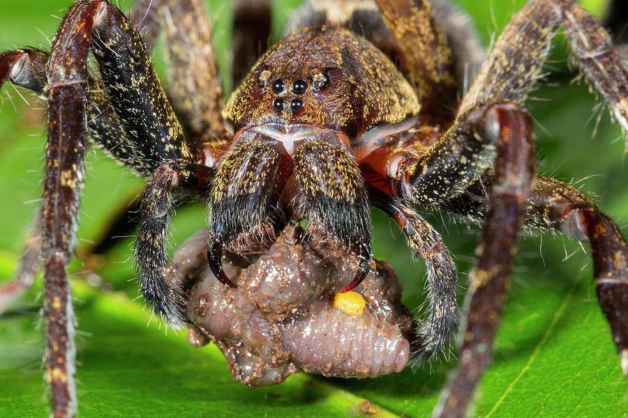 Animal Photograph - Wandering Spider Feeding by Dr Morley Read