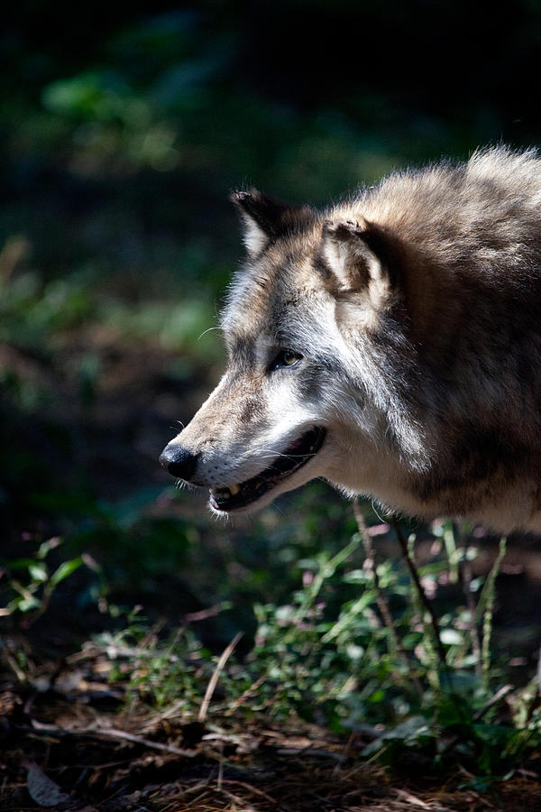 Wolf Photograph - Wandering Wolf by Karol Livote