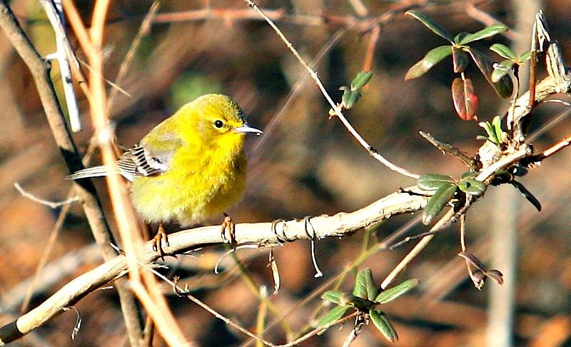 Bird Photograph - Warbler by Debbie Sikes