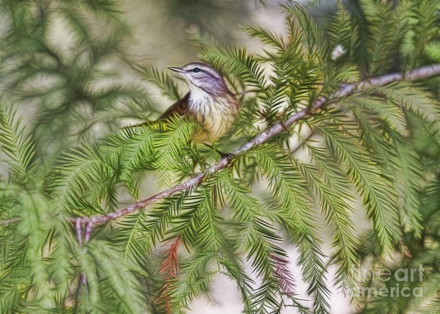 Warbler Photograph - Warbler In The Cypress by Deborah Benoit