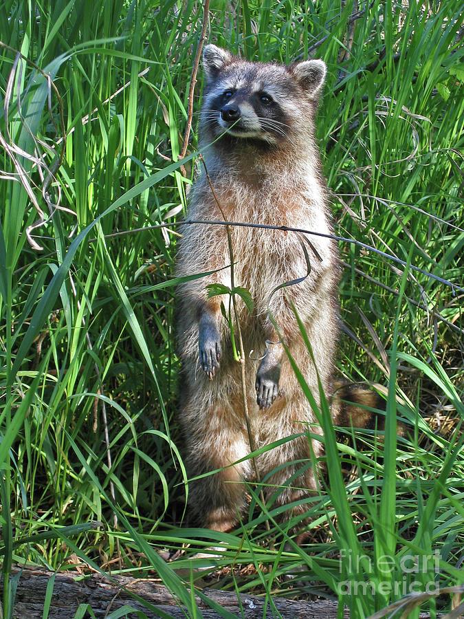 Raccoon Photograph - Wary by Ann Horn
