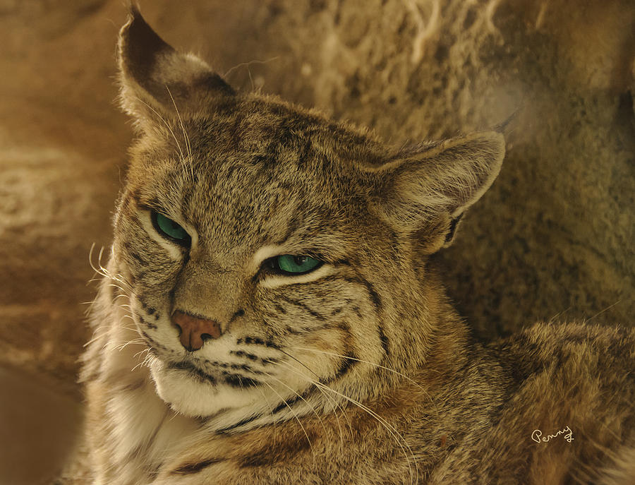 Living Desert Photograph - Wary Bobcat by Penny Lisowski