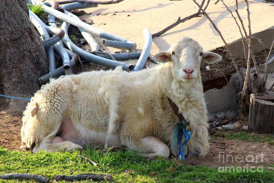 Sheep Photograph - Was I Baaaad? by Kathy  White