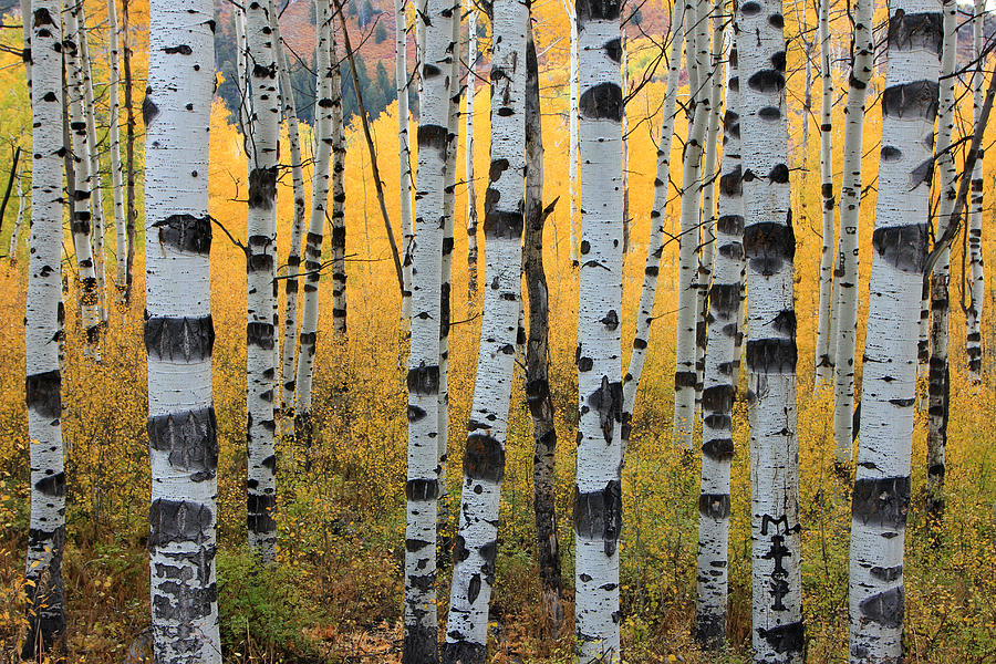 Wasatch Aspens by Johnny Adolphson