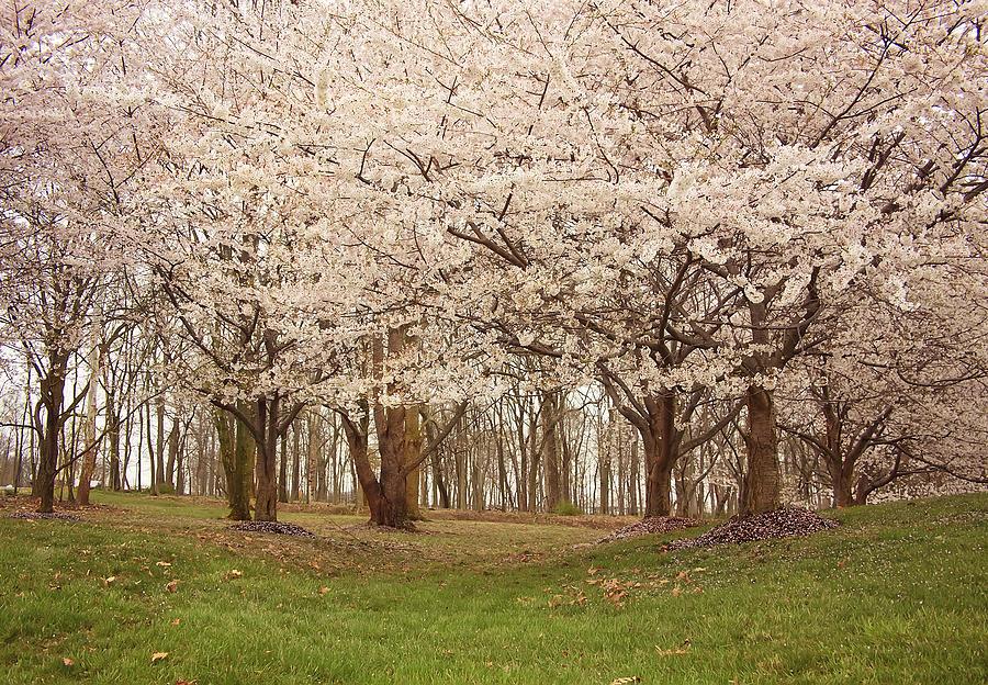 Flower Photograph - Washington Dc Cherry Blossoms by Kim Hojnacki
