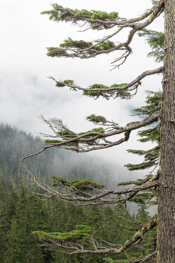 Evergreen Photograph - Washington, Mount Rainier National Park by Jaynes Gallery